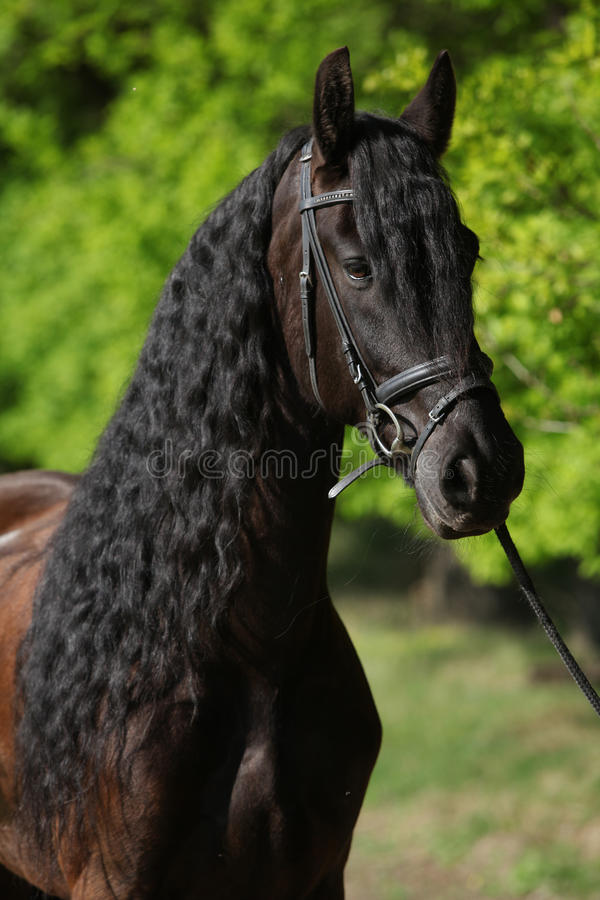 Beautiful friesian horse with spring green on the background stock images