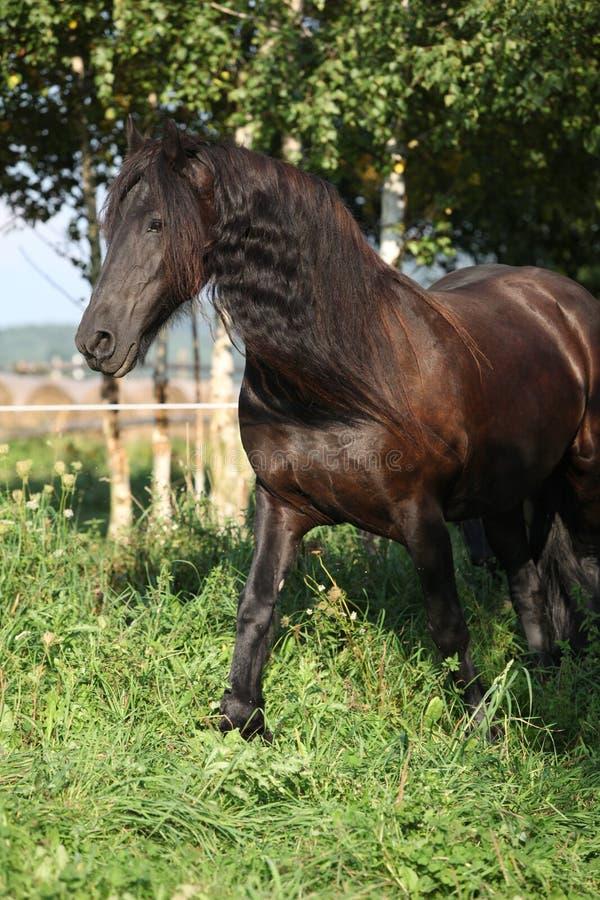 Beautiful friesian horse wit long mane stock photos