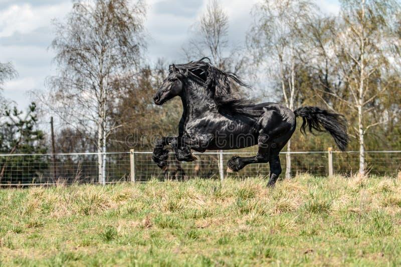 Beautiful black friesian stud stallion royalty free stock photos