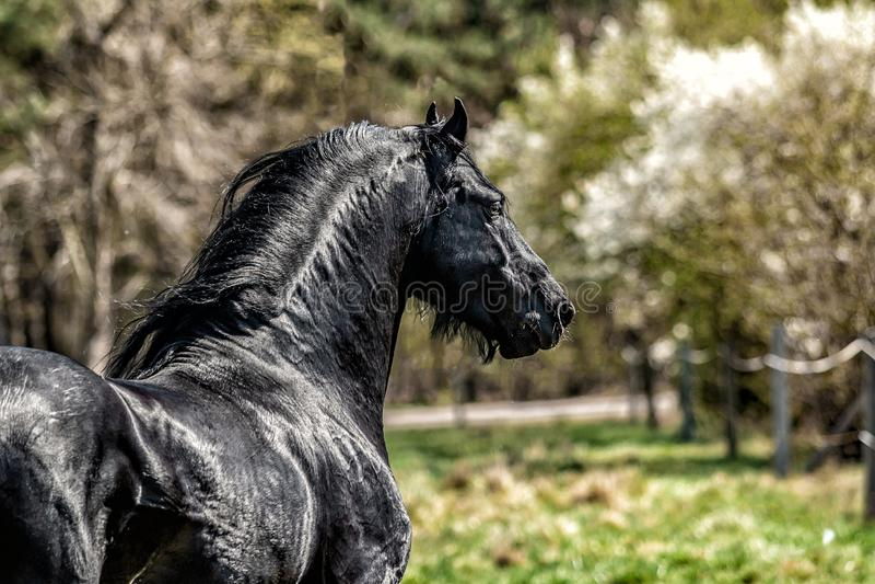 Beautiful black friesian stud stallion stock images