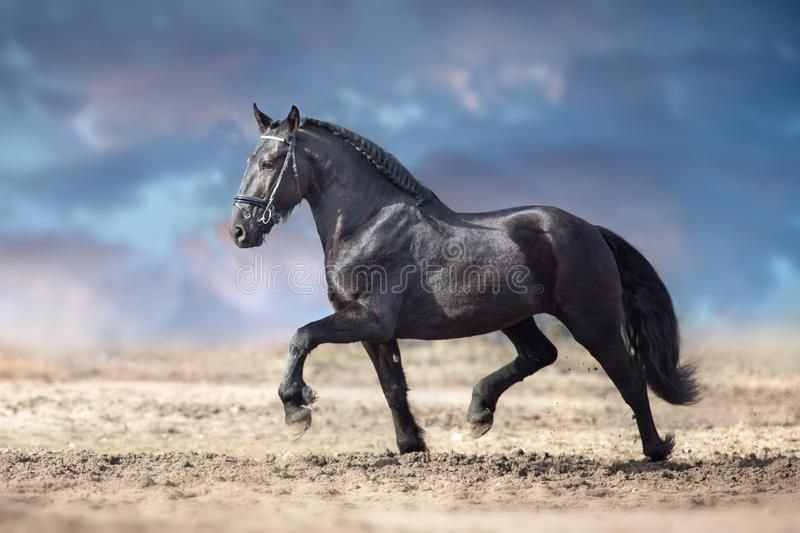 Black horse trotting royalty free stock photography