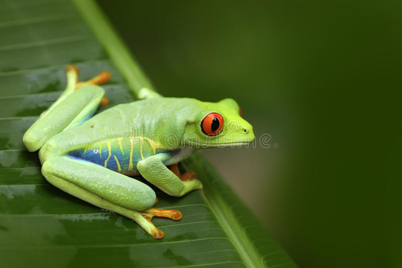 Beautiful frog in forest, exotic animal from central America. Red-eyed Tree Frog, Agalychnis callidryas, animal with big red eyes,. Costa Rica royalty free stock image