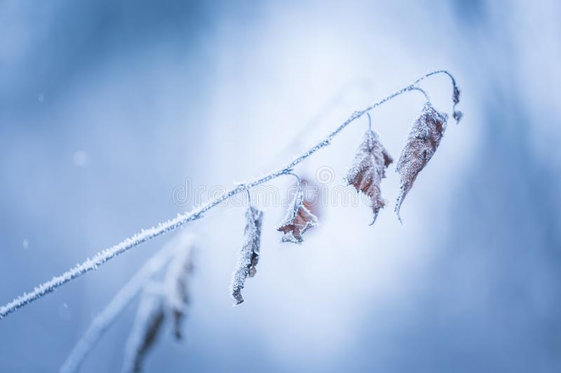 Beautiful frozen tree branch with dead leaves. And ice crystals. Close up of withered tree twig in winter stock photo