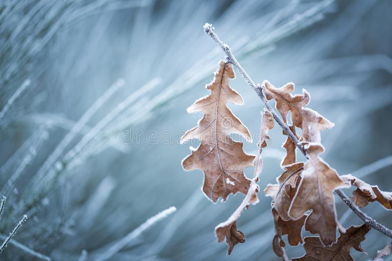 Beautiful frozen tree branch with dead leaves. And ice crystals. Close up of withered tree twig in winter stock photos