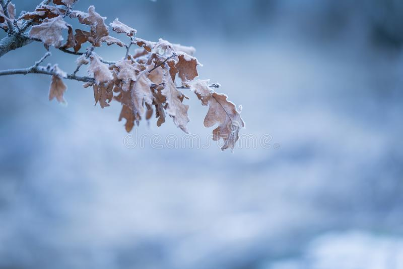 Beautiful frozen tree branch with dead leaves. And ice crystals. Close up of withered tree twig in winter royalty free stock images