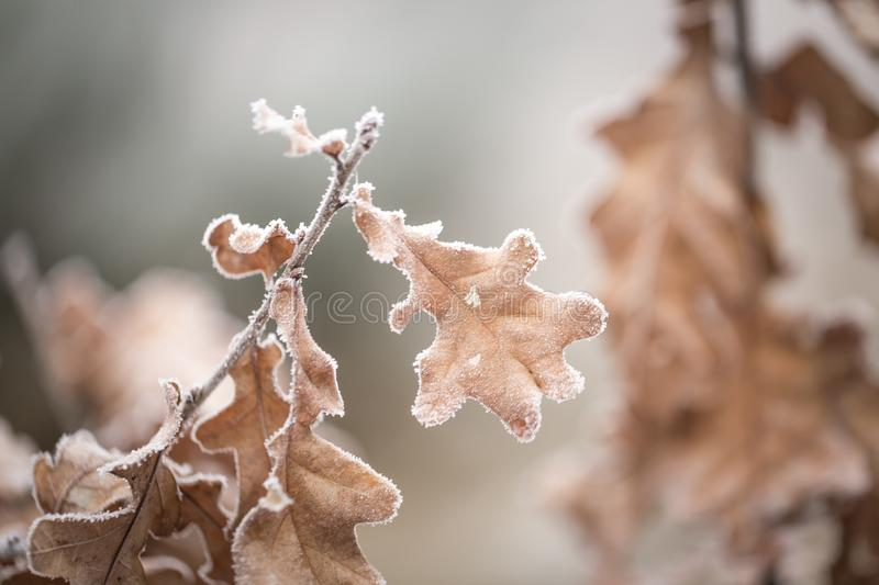 Beautiful frozen tree branch with dead leaves. And ice crystals. Close up of withered tree twig in winter royalty free stock photos