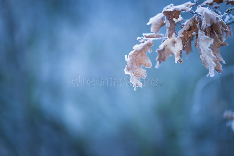 Beautiful frozen tree branch with dead leaves. And ice crystals. Close up of withered tree twig in winter royalty free stock photo