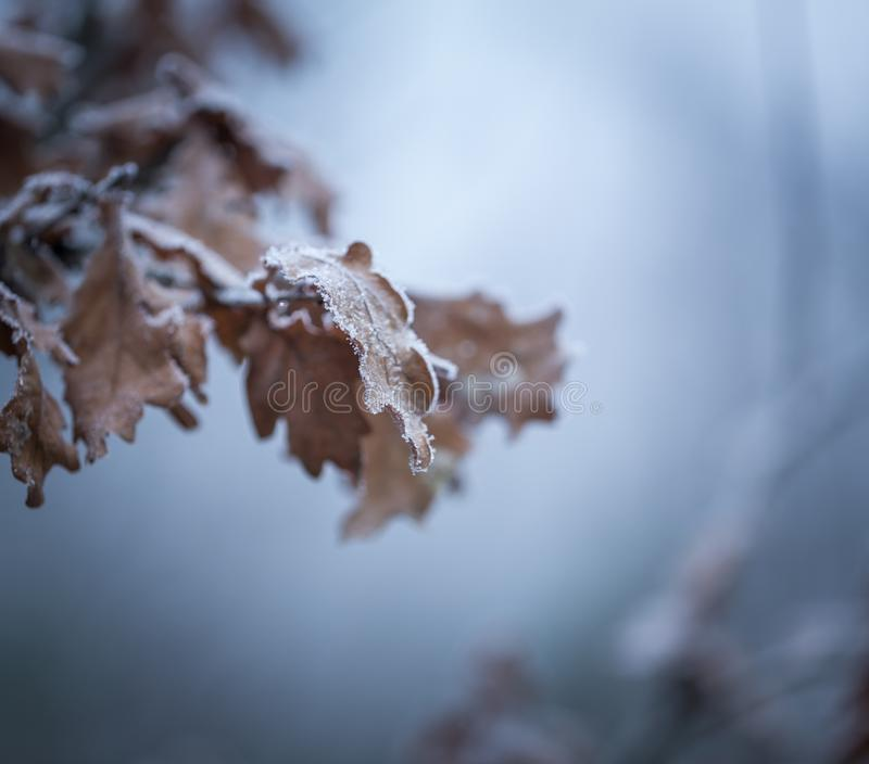 Beautiful frozen tree branch with dead leaves. And ice crystals. Close up of withered tree twig in winter royalty free stock image