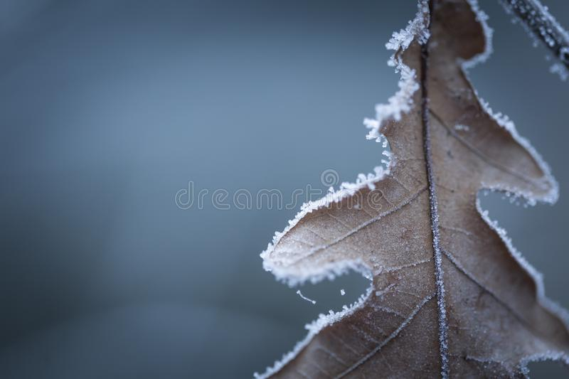 Beautiful frozen tree branch with dead leaves. And ice crystals. Close up of withered tree twig in winter royalty free stock photography