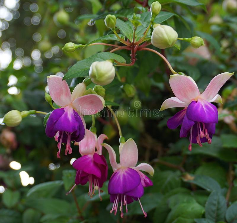 Beautiful Fuchsia flowers close up. royalty free stock photography