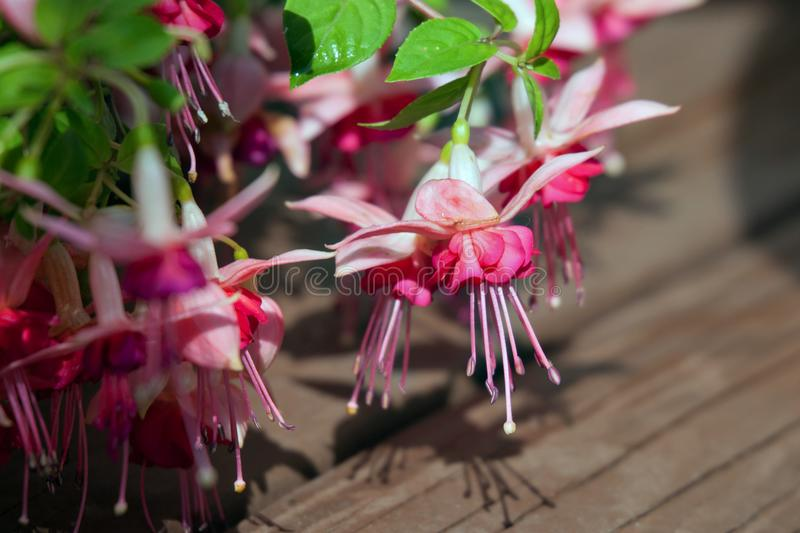 Fuchsia flowers. Close up royalty free stock photography