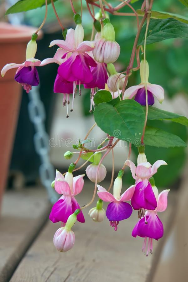 Fuchsia flowers. Close up stock photography
