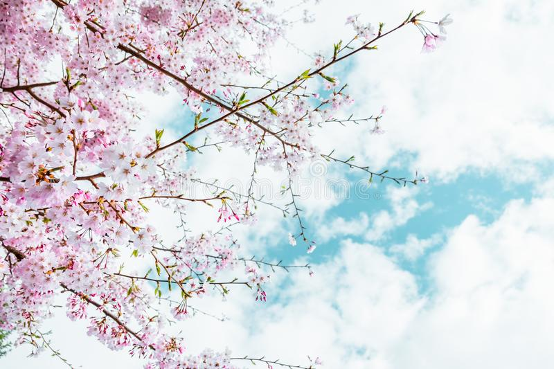Beautiful full bloom cherry Blossom in the early spring season. Pink Sakura Japanese flower in over the blue sky. Japanese Garden stock photos