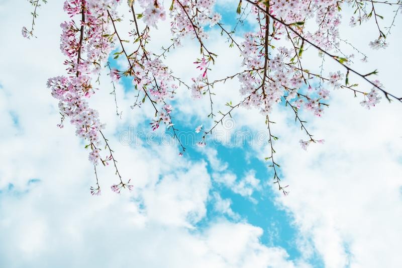 Beautiful full bloom cherry Blossom in the early spring season. Pink Sakura Japanese flower in over the blue sky. Japanese Garden.  stock image