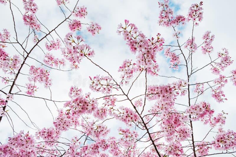 Beautiful full bloom cherry Blossom in the early spring season. Pink Sakura Japanese flower in over the blue sky. Japanese Garden.  stock photography