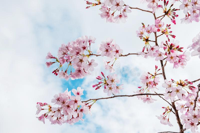 Beautiful full bloom cherry Blossom in the early spring season. Pink Sakura Japanese flower in over the blue sky. Japanese Garden.  royalty free stock photos