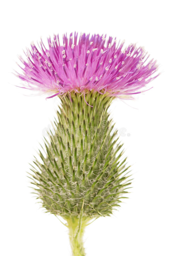 Beautiful full-blown bud thistle isolated on white background. stock photo