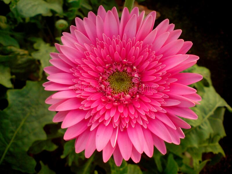 A beautiful full clear pic of pink gerbera flower. A morning fresh full clear and distinct capture of pink gerbera flower royalty free stock image