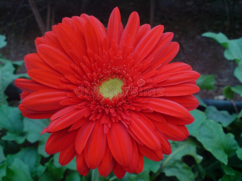 A beautiful full clear pic of red gerbera flower. A morning fresh full clear and distinct capture of red gerbera flower royalty free stock photos
