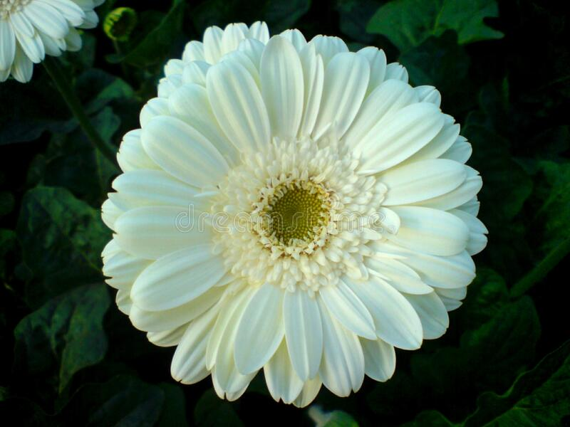 A beautiful full clear pic of white gerbera flower. A morning fresh full clear and distinct capture of white gerbera flower royalty free stock photography