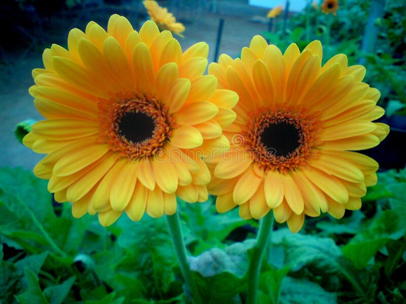 A beautiful full clear pic of yellow gerbera flower. A morning fresh full clear and distinct capture of two yellow gerbera flower royalty free stock photography
