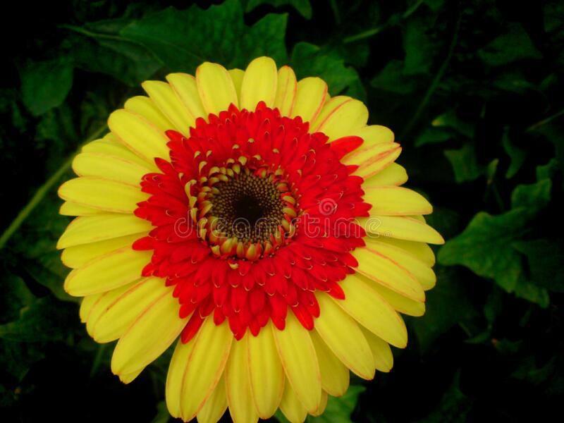 A beautiful full clear pic of yellow-red gerbera flower. A morning fresh full clear and distinct capture of yellow-red  gerbera flower royalty free stock image