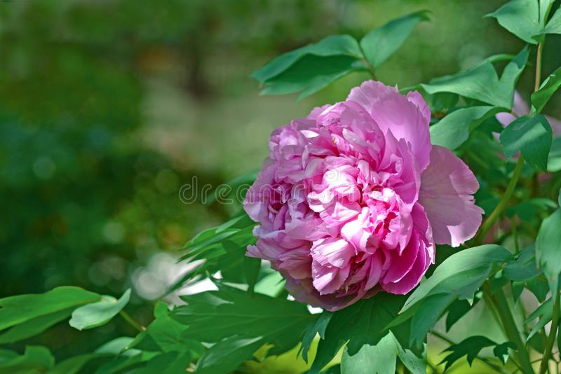 Beautiful full pink Chinese peony flower in bloom in spring on leaf background. Beautiful full pink Chinese peony flower in bloom in spring on blurry leaf royalty free stock image