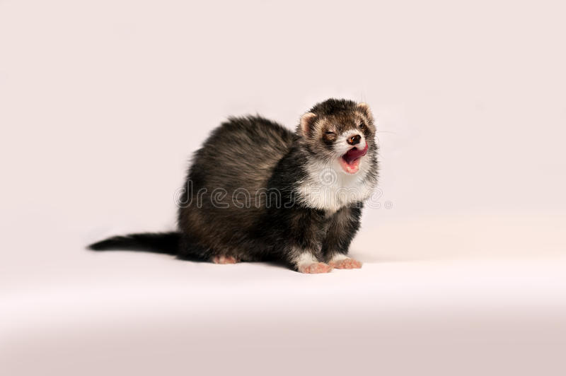 Beautiful furry ferret gently licked on a pink background. stock images
