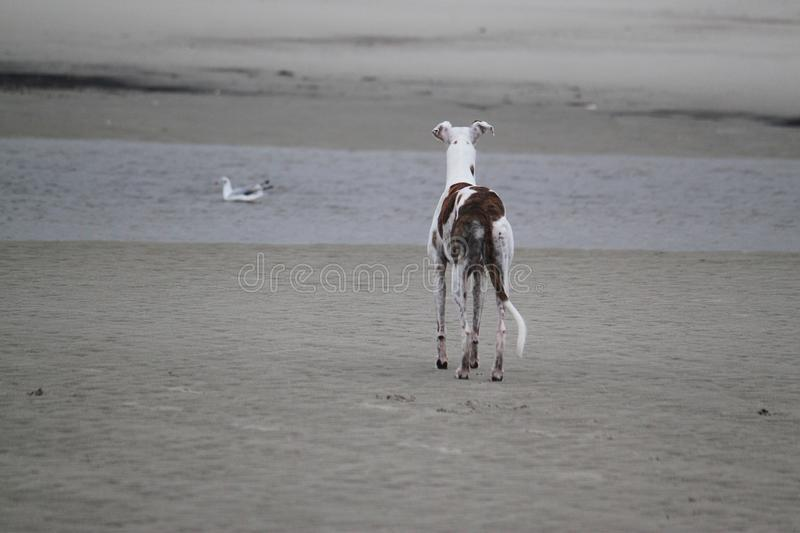 Galgo is standing at the sea stock photos