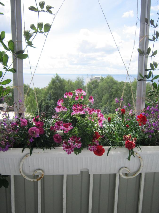 Beautiful garden on the balcony with blooming plants in container. Pink and red flowers - carnation and geranium royalty free stock photos