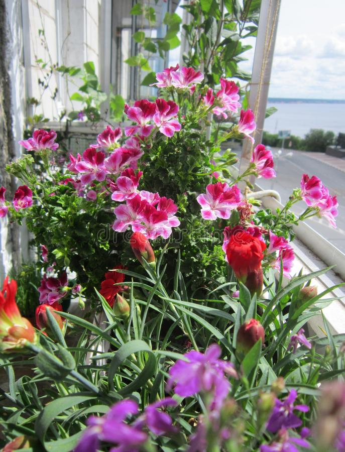 Beautiful garden on the balcony. Pink flowers of geranium bloom in the summer royalty free stock photo
