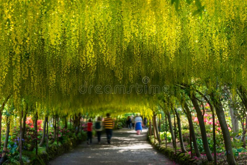 Beautiful Garden with blooming laburnum arch during spring time royalty free stock photo