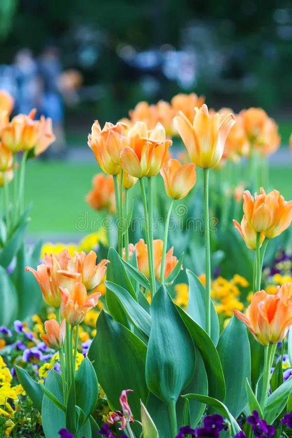 Beautiful garden flowers. Bright tulips in spring park. Urban landscape with decorative plants. Beautiful garden flowers. Bright tulips blooming in spring park royalty free stock photos