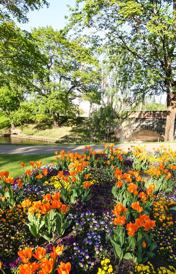 Beautiful garden flowers. Bright tulips blooming in spring park. Urban landscape with decorative plants. Beautiful garden flowers. Bright tulips blooming in royalty free stock image
