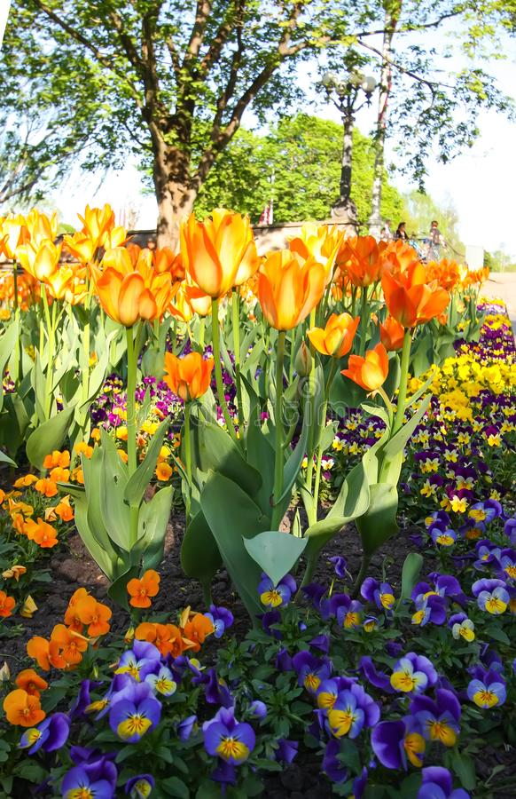 Beautiful garden flowers. Bright tulips blooming in spring park. Urban landscape with decorative plants. stock photo