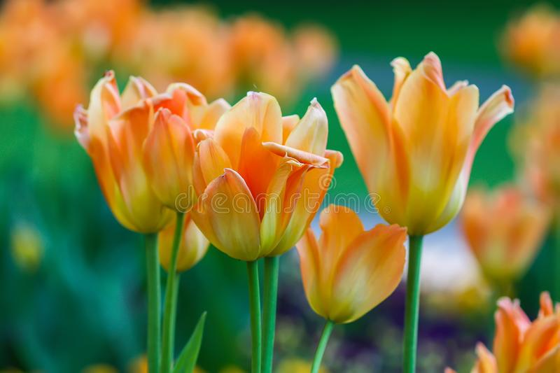 Beautiful garden flowers. Bright tulips in spring park. Urban landscape with decorative plants. Beautiful garden flowers. Bright tulips blooming in spring park royalty free stock photo