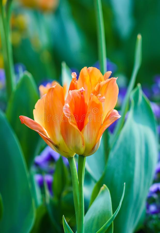 Beautiful garden flowers. Bright tulips in spring park. Urban landscape with decorative plants. Beautiful garden flowers. Bright tulips blooming in spring park royalty free stock images