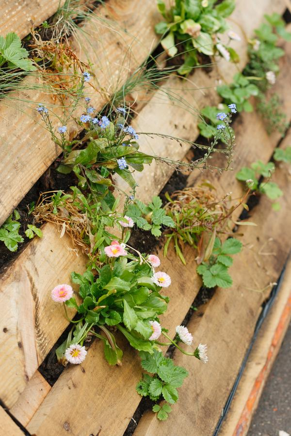 Beautiful garden flowers growing between wooden boards. Wooden flowerbed. Creative planting idea for the garden.  royalty free stock photos