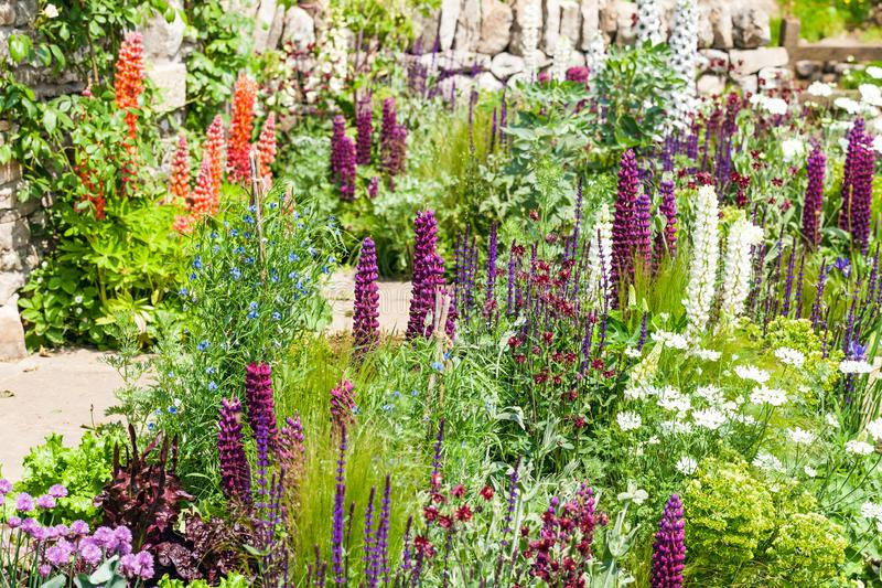 Beautiful garden landscape with blooming lupine stock image