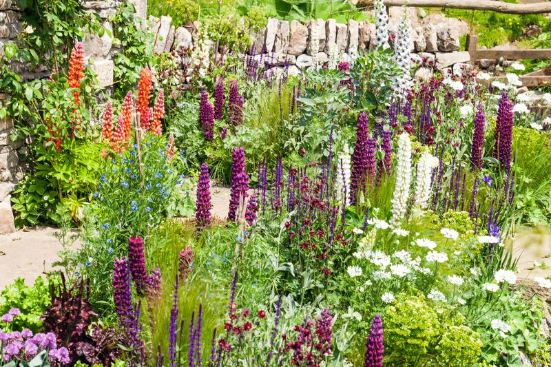 Beautiful garden landscape with blooming lupine stock photo