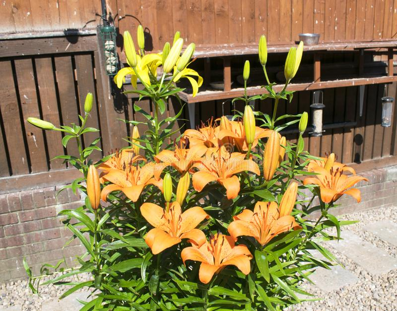 Beautiful Garden Lilies, Lily, Lilium royalty free stock images