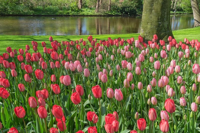 Beautiful garden with red, and pink tulips with their green leaves with a pond in the background on a wonderful and sunny day in royalty free stock images