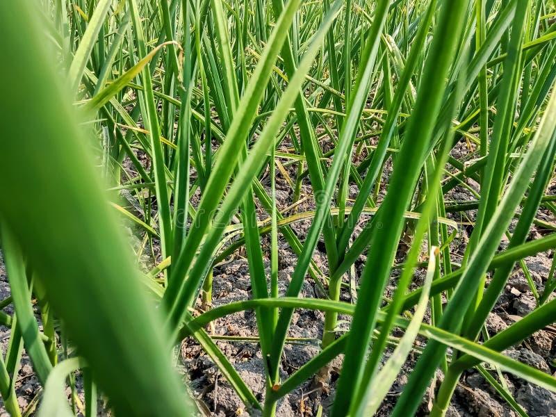 Beautiful garlic plant leaf image india royalty free stock photography