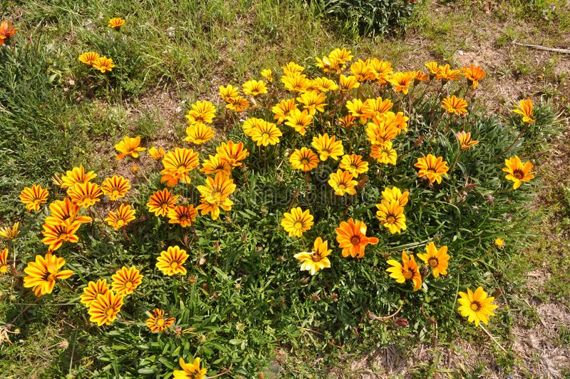The beautiful gazania flower in garden stock photos