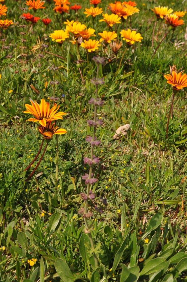 The beautiful gazania flower in garden royalty free stock photo