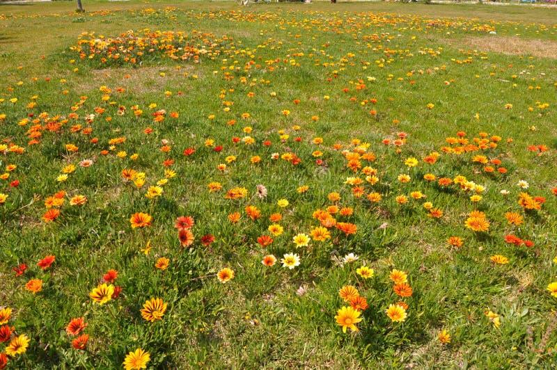 The beautiful gazania flower in garden royalty free stock image