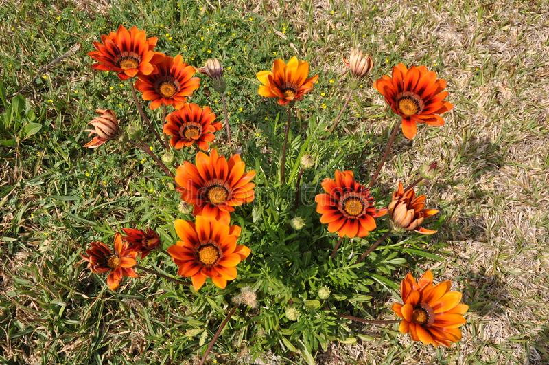 The beautiful gazania flower in garden royalty free stock images