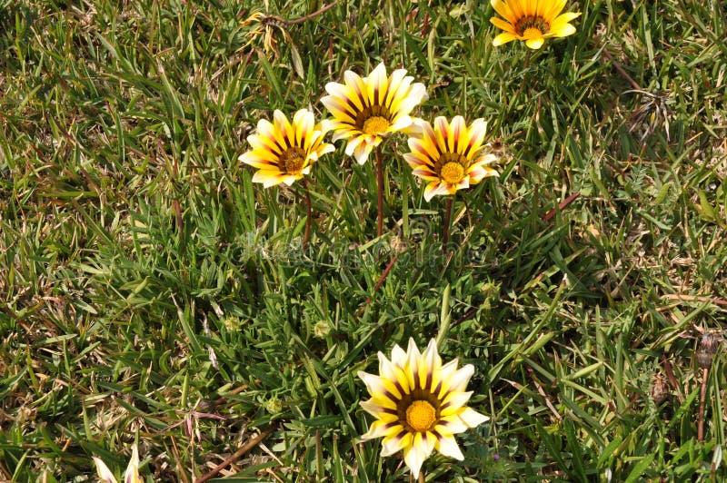 The beautiful gazania flower in garden stock image