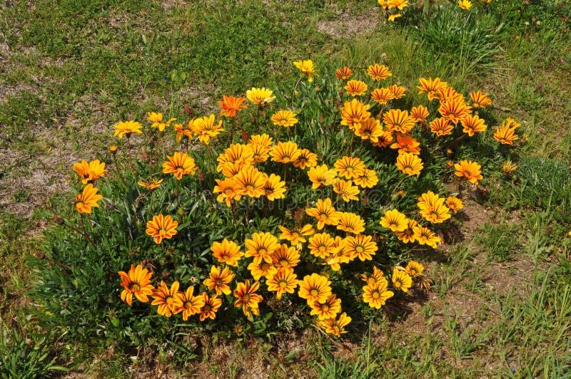 The beautiful gazania flower in garden stock images