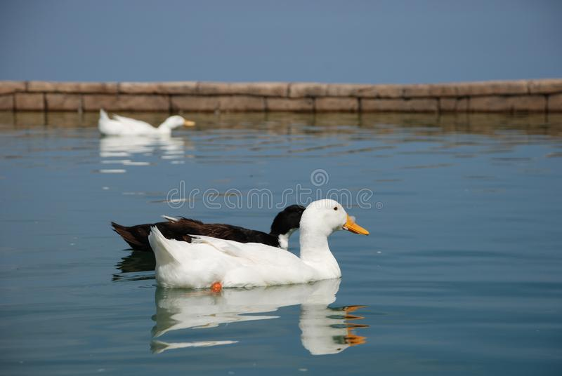 Beautiful geese swim in the pond royalty free stock photo
